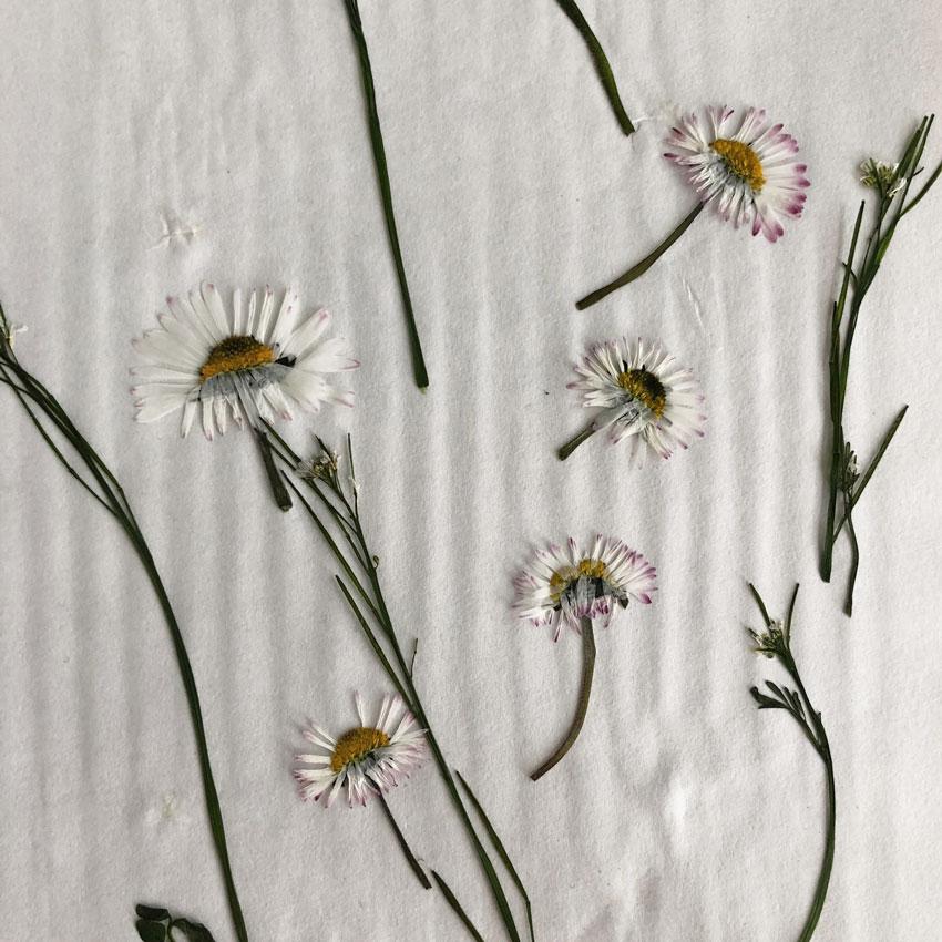 Blumenpresse Gaensebluemchen trocknen - Gärtnern mit Kinder - unser Dachgarten im April