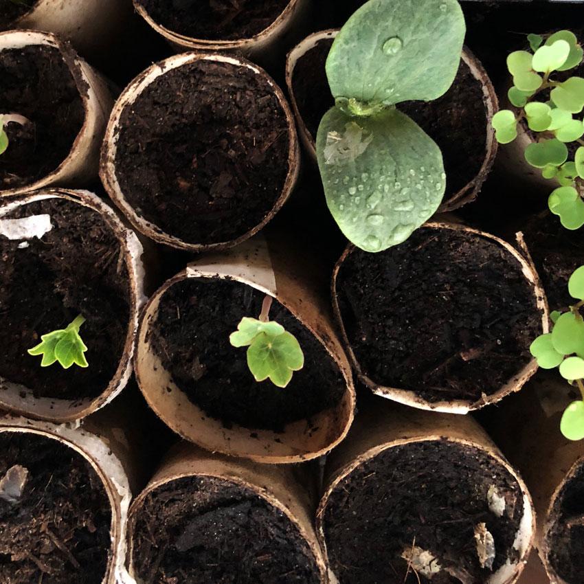 Vorziehen Pflanzen Klorolle Vorzucht Gurke Rucola - Gärtnern mit Kinder - unser Dachgarten im April