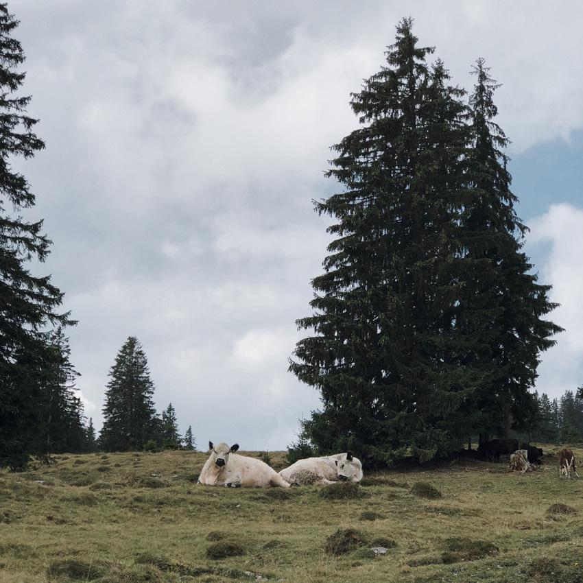 visit austria sehnsuchtskampagne familie urlaub kuehe - Ankommen im Urlaub | Familienurlaub in Österreich