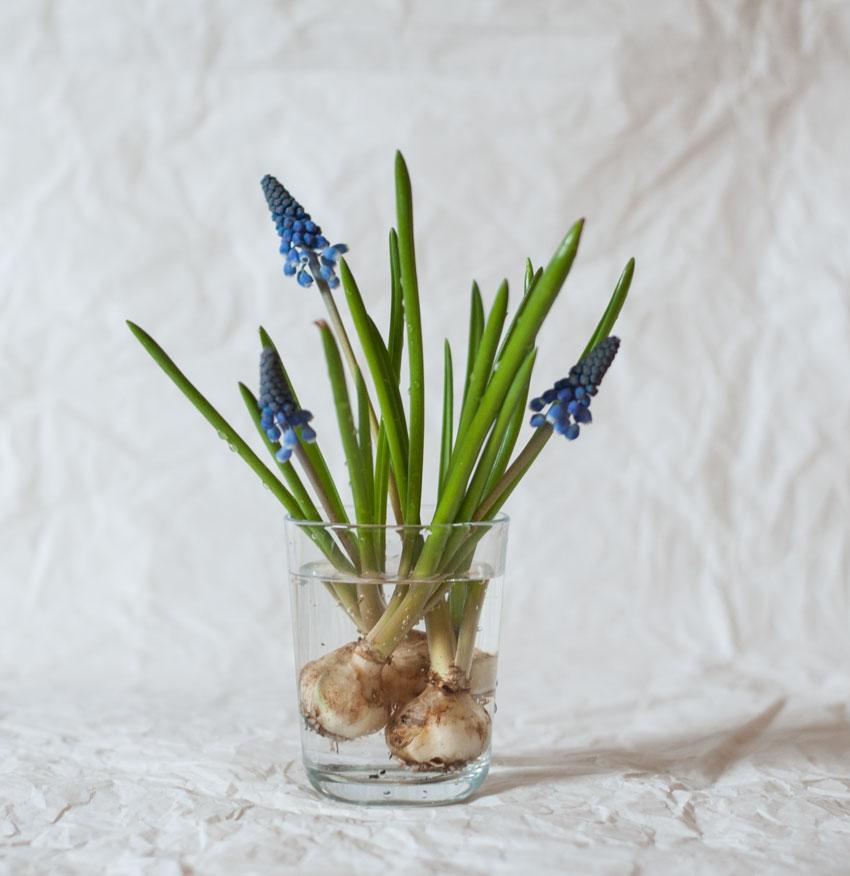 diy traubenhyazinthen wachs zwiebel 10 - Traubenhyazinthen in Wachs | mein hängender Blumengarten