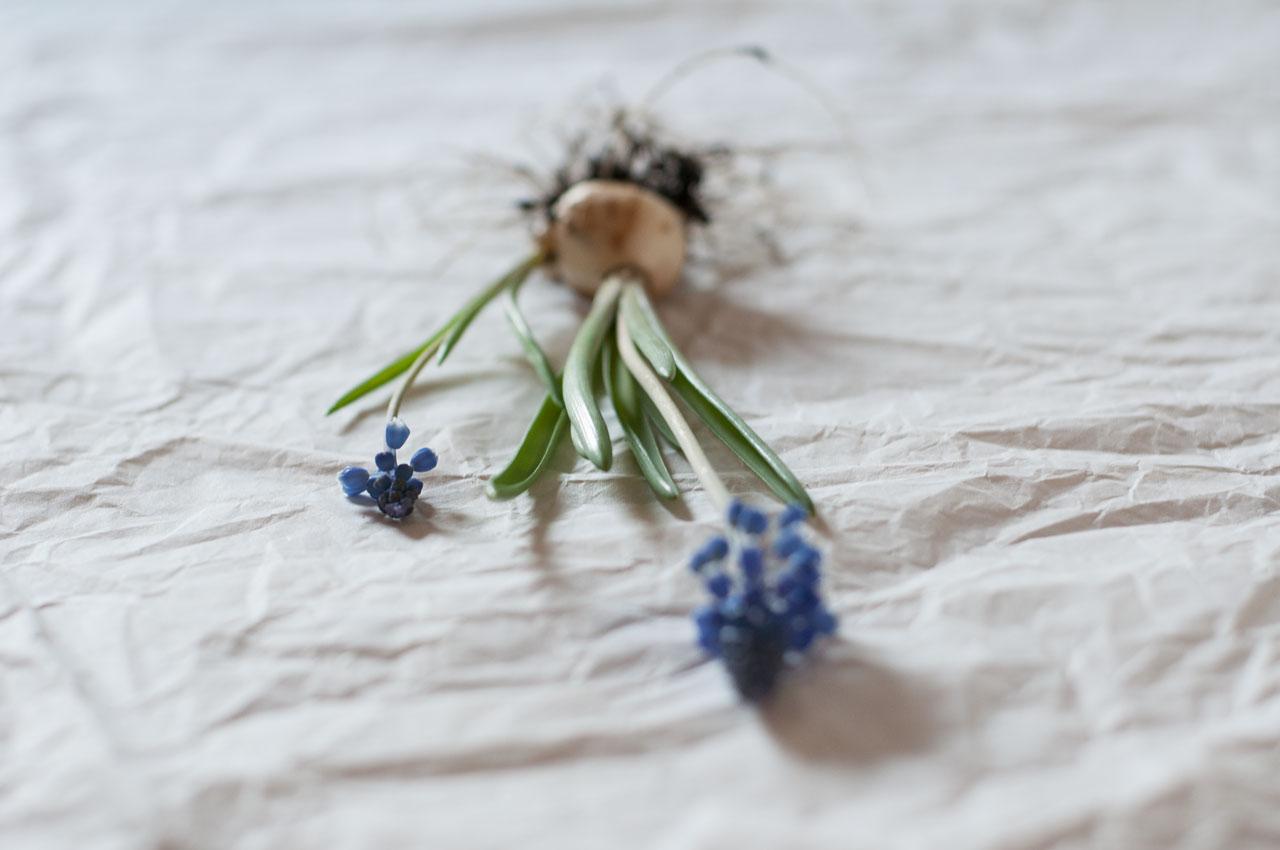 diy traubenhyazinthen wachs zwiebel 11 - Traubenhyazinthen in Wachs | mein hängender Blumengarten